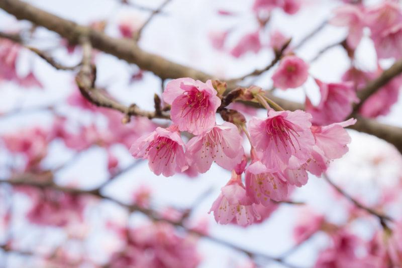 fleur rose hibiscus pourpre